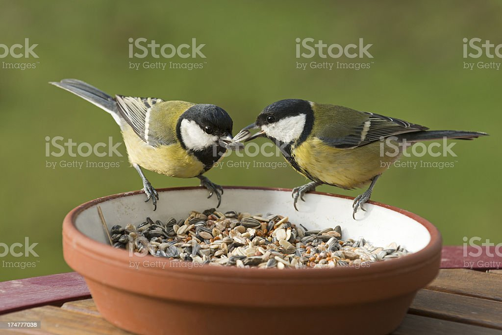 great tit [Parus major]  (image size XXXL) royalty-free stock photo