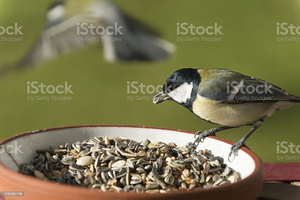 great tit [Parus major]   (image size XXXL) stock photo