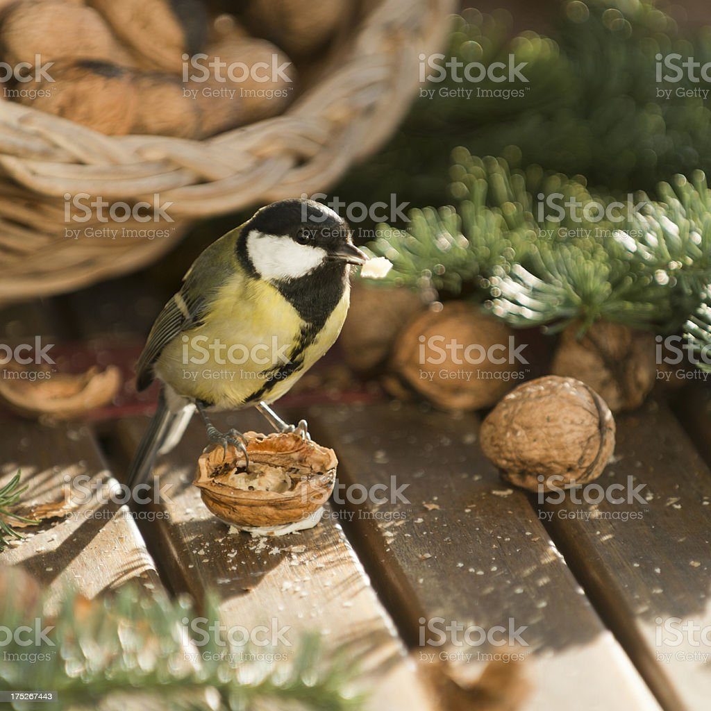 Great tit [Parus major] stock photo