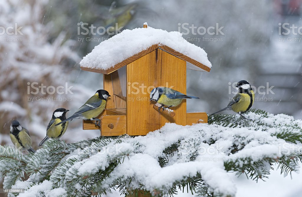 Great tit [Parus major]   (image size XXL) stock photo