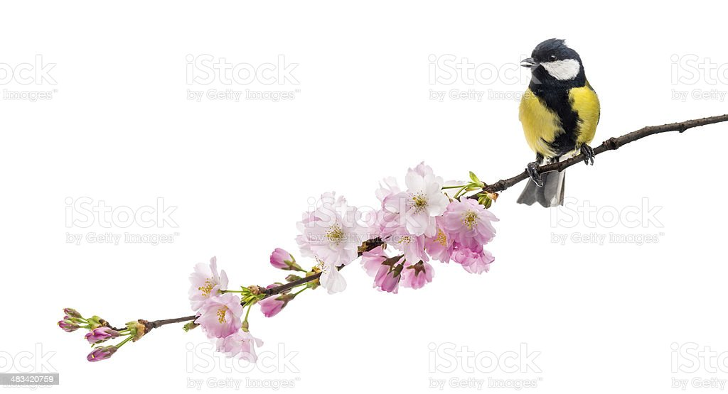 great tit perched on a flowering branch, Parus major​​​ foto