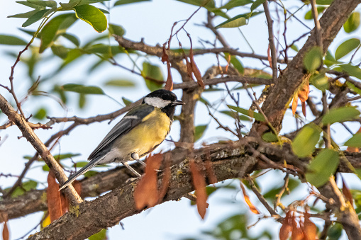 The Great Tit is easily identifiable thanks to its black crown and tie and its plumage where yellow predominates.