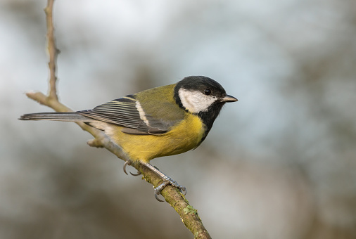 Great tit (Parus major) perching on a twig.