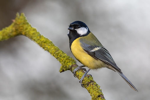 Great tit (Parus major) perching on a twig covered with lichen.