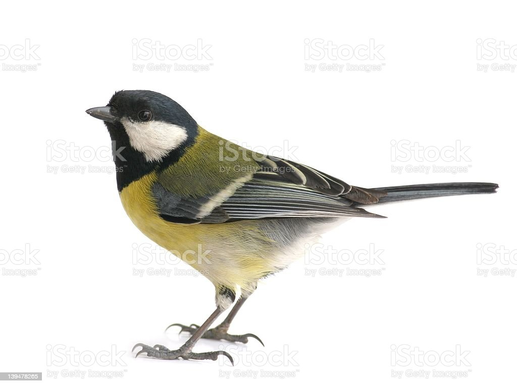 Great tit (Parus major) stock photo
