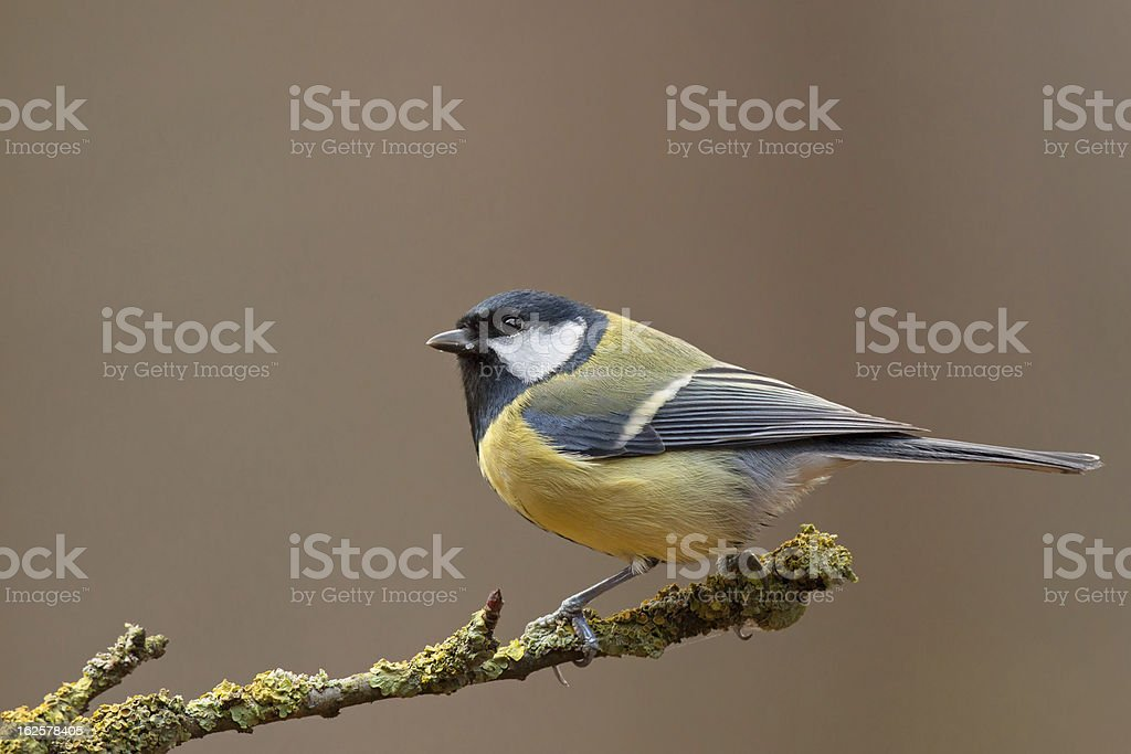Great Tit  (Parus major) royalty-free stock photo