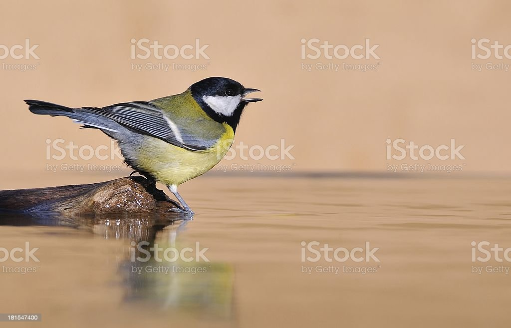 Great tit. royalty-free stock photo