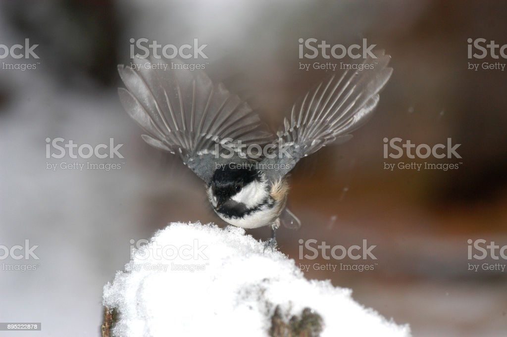 Great tit (Parus ater) stock photo