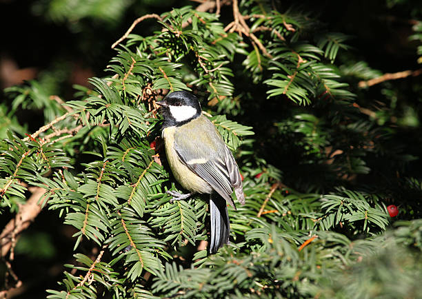 Great Tit sitting in a pine tree in the sun – Foto