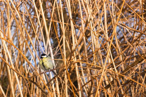 kohlmeise (parus major) auf einem busch ast in einem park - meisenknödel stock-fotos und bilder