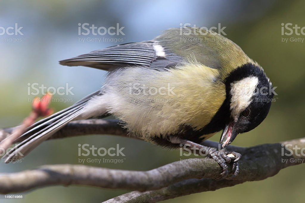 Great tit sitting on branch and eating royalty-free stock photo