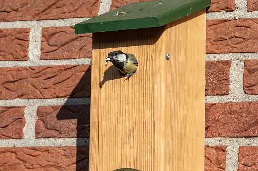 Great tit with a slug at its birdhouse