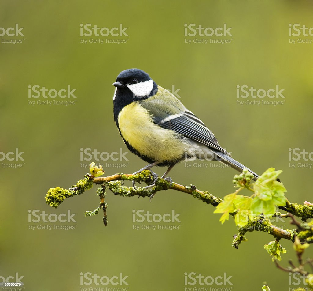 Great Tit with a spring color background royalty-free stock photo