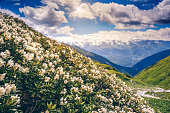 Great view of the alpine meadows with rhododendron flowers at the foot of Mt. Ushba. Dramatic unusual scene. Overcast  blue sky. Upper Svaneti, Georgia, Europe. The main Caucasus ridge. Beauty world.
