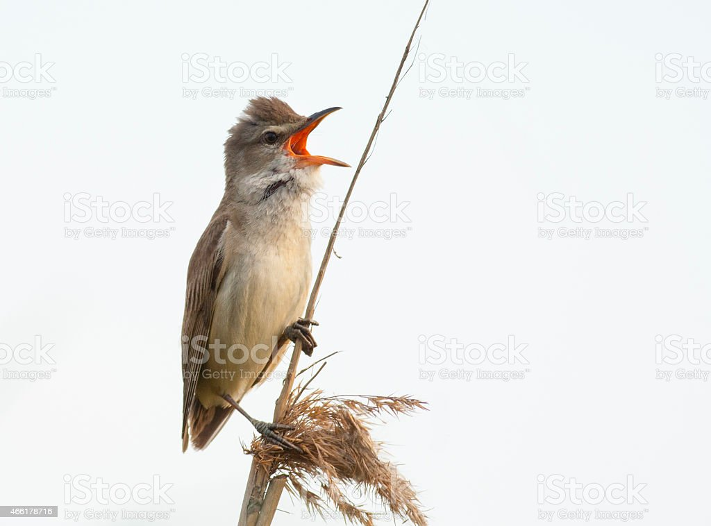 Great Warbler sing on reed stock photo