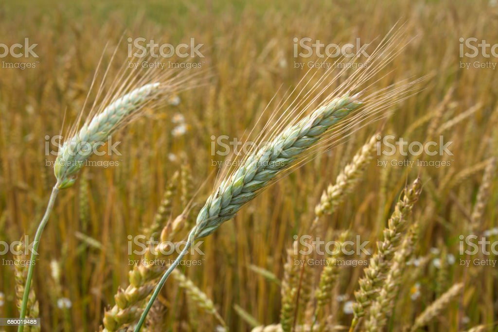 Great wheat field in the countryside in August stock photo