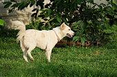 Great White Dog