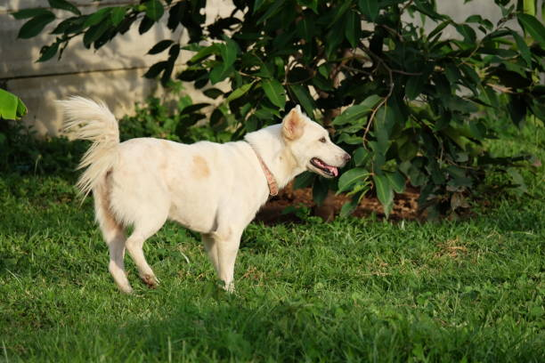Great white dog picture id873916424?b=1&k=6&m=873916424&s=612x612&w=0&h=prloax3inom4nuuppjougftvhehbr9fz7dxne8pgv5u=