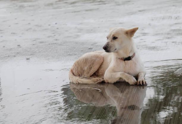 Great white dog picture id873917840?b=1&k=6&m=873917840&s=612x612&w=0&h=tslevait355i5r3aorf1zu pgoeltbricdt8exuapyc=