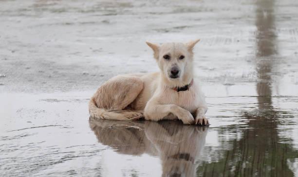 Great white dog picture id873917884?b=1&k=6&m=873917884&s=612x612&w=0&h=bgh4 dr kqxusanoabn7zjfb8gddg quzbah8oyve1m=