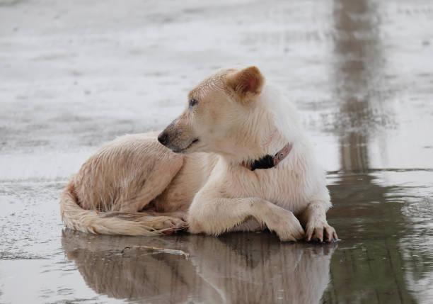 Great white dog picture id873917932?b=1&k=6&m=873917932&s=612x612&w=0&h=ljpu5esiwf9v3uaswtrsg4a1epvylfnff1il8xdxv3s=