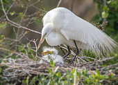 nursing and nesting great white egret with chiks