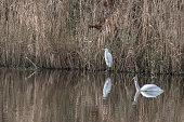 Great White Egret Standing on the shoreline with tundra swan swimming by.  Taken at Make Mattamuskeet Wildlife Refuge North Carolina.