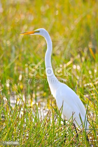 great white egret backlit in wetland marsh