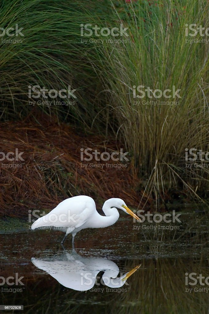 great white egret fishes in pond royalty-free stock photo