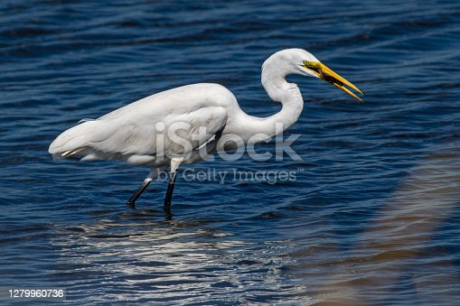 Great white egret fishing in pond