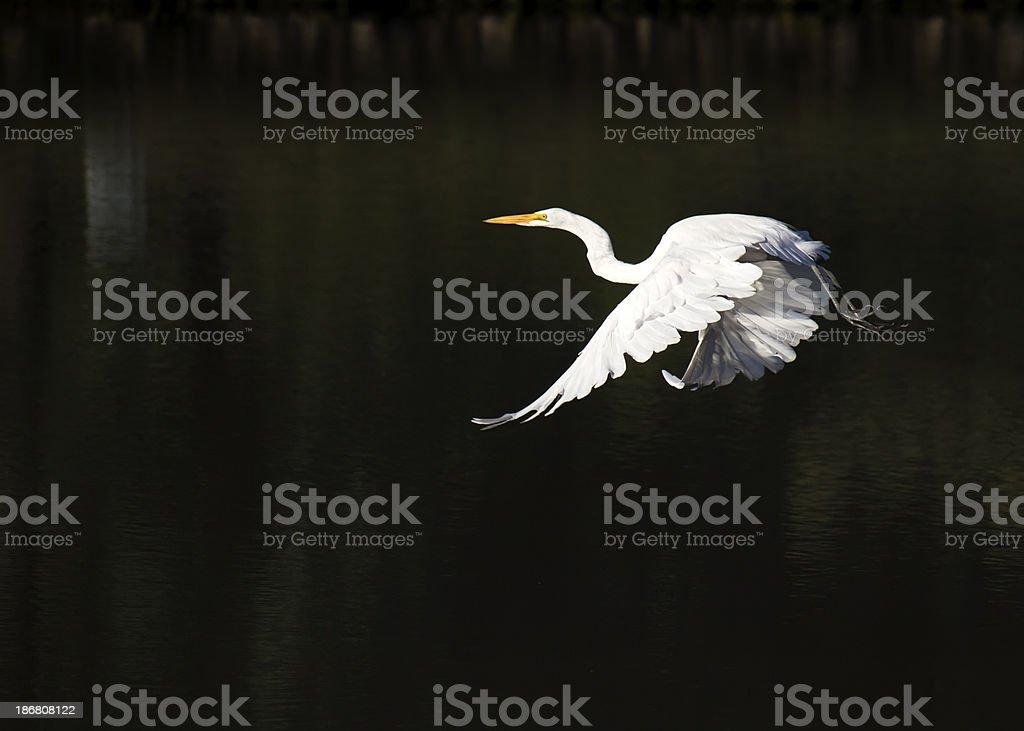 Great White Egret Flies Across Dark Green Water Surface royalty-free stock photo
