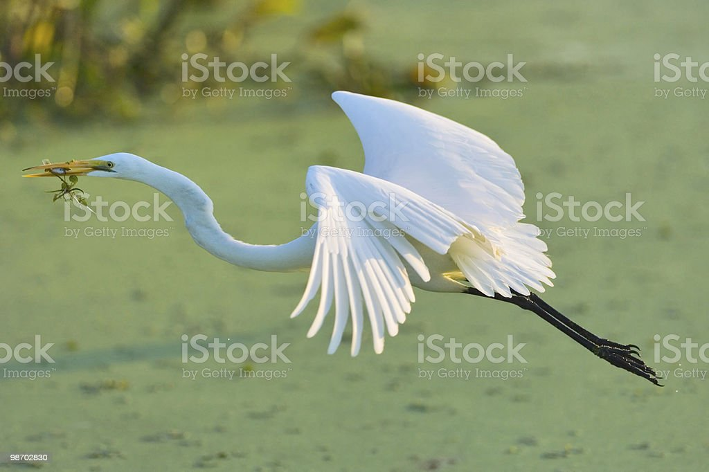 great white egret fly fishing royalty-free stock photo