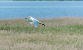 Great White Egret Flying in a Wetland in Latvia