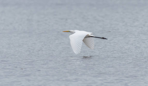 Great White Egret Flying Over a Lake in Latvia - foto stock