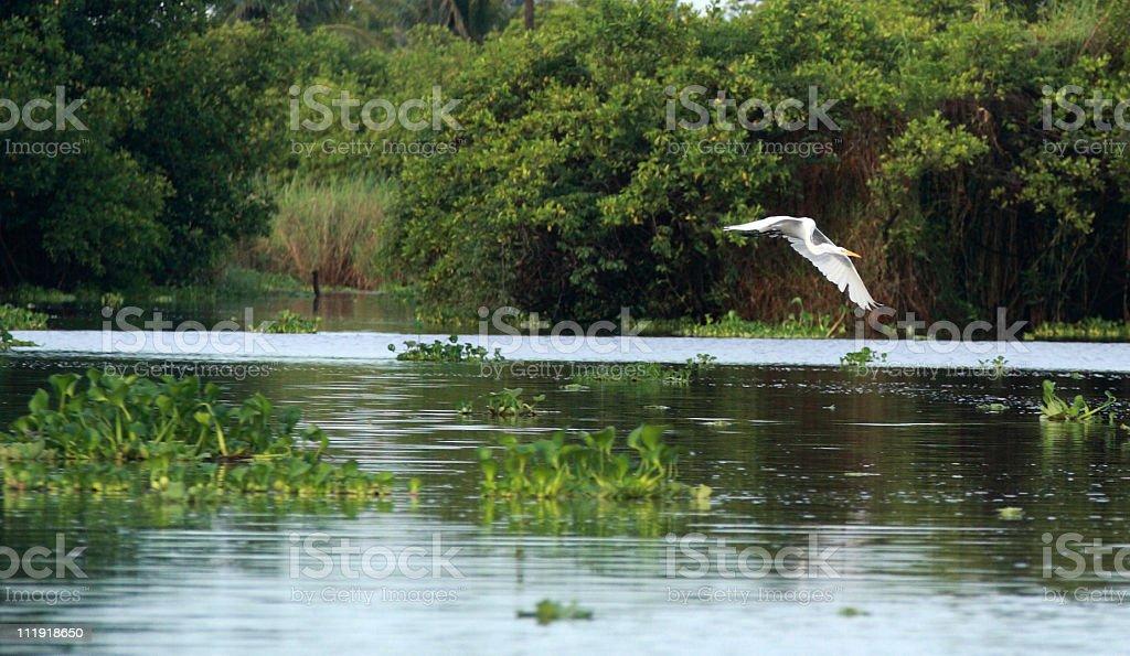Great white Egret flying over Mangrove Swamp stock photo