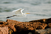 A great white egret (Ardea alba) flying low over a rocky coast  line.