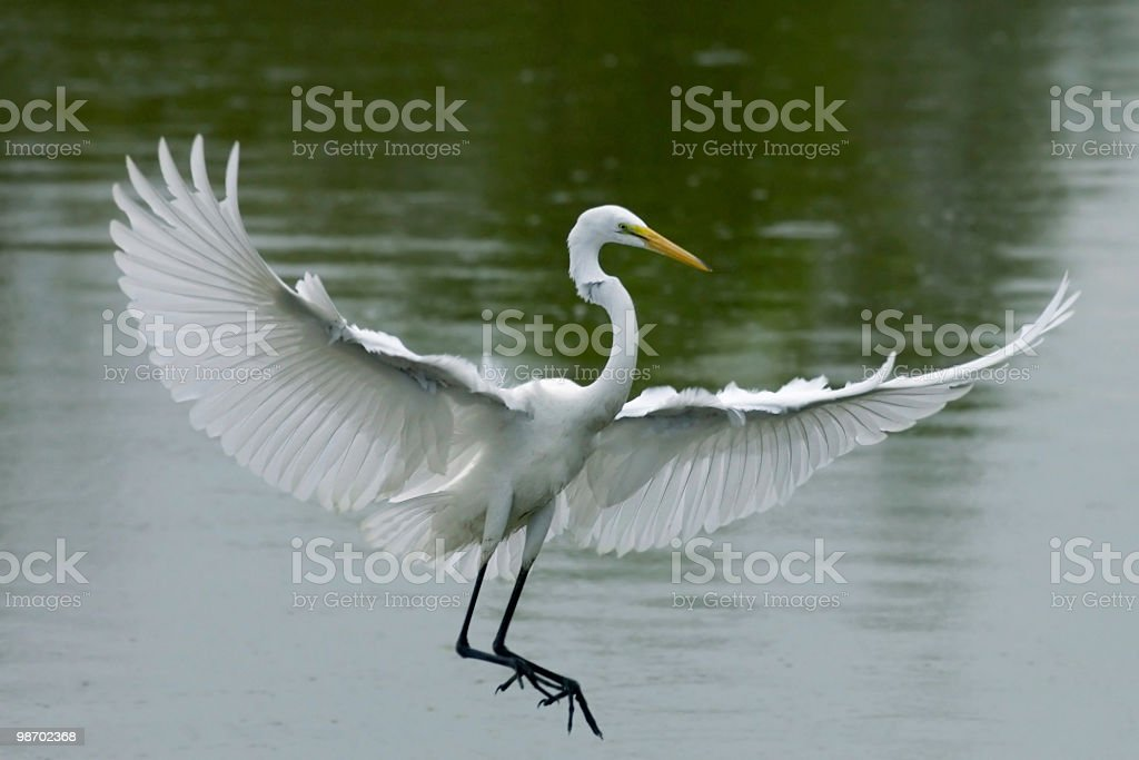 great white egret landing from flight royalty-free stock photo