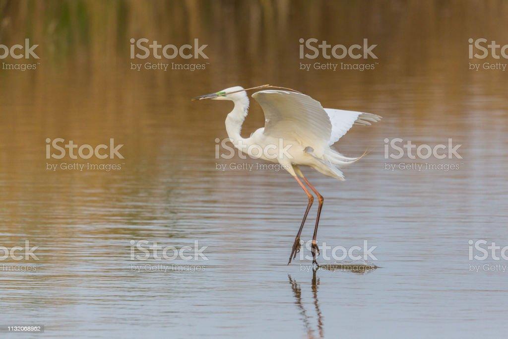 Großer weißer Reiher (egretta alba) Liftoff mit Verzweigchen im Schnabel – Foto