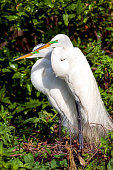 Great White Egret Pair starting their Nest on an island on Lake Tohopekaliga in Kissimmee, Florida