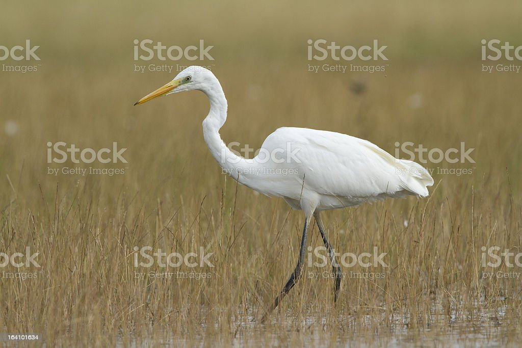 Great White Egret Great White Egret - Photographed in Worcestershire. Awe Stock Photo