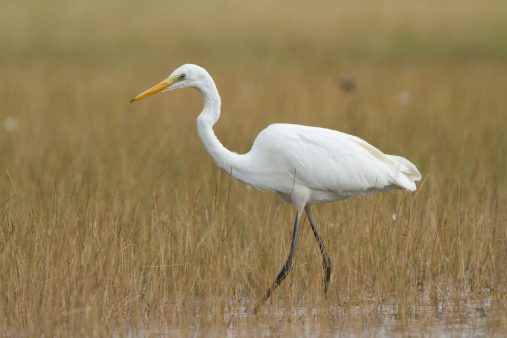 Great White Egret Stock Photo - Download Image Now