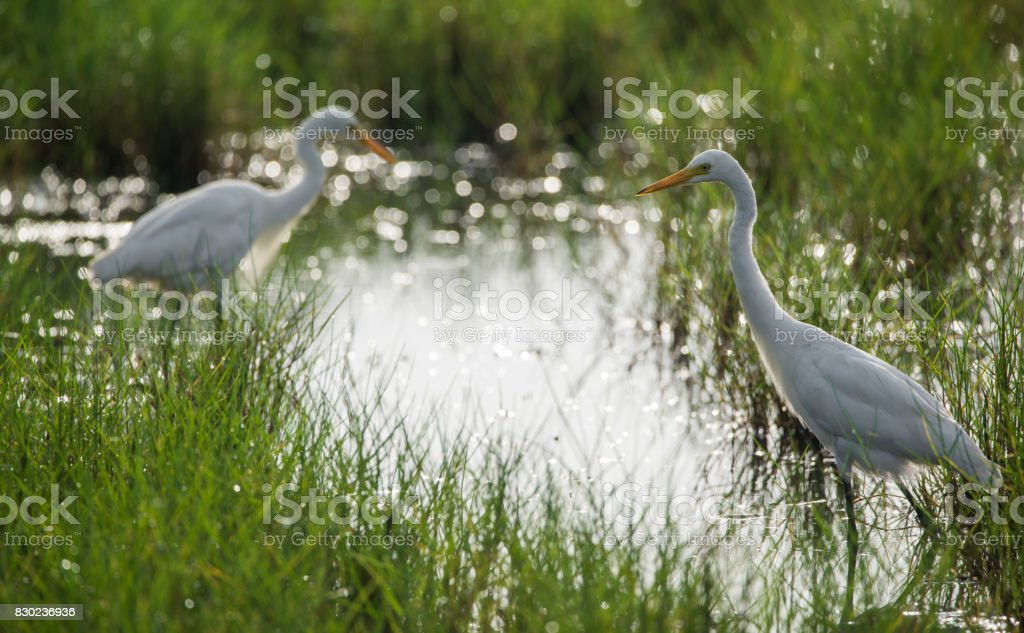 Great White Egret stock photo