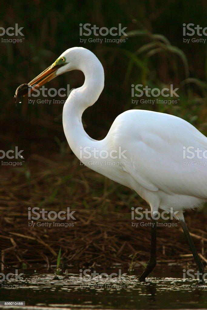 Great White Egret royalty-free stock photo