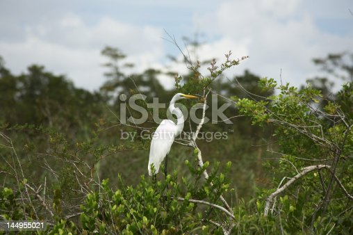 A great white Egret resting on a tree branch.
