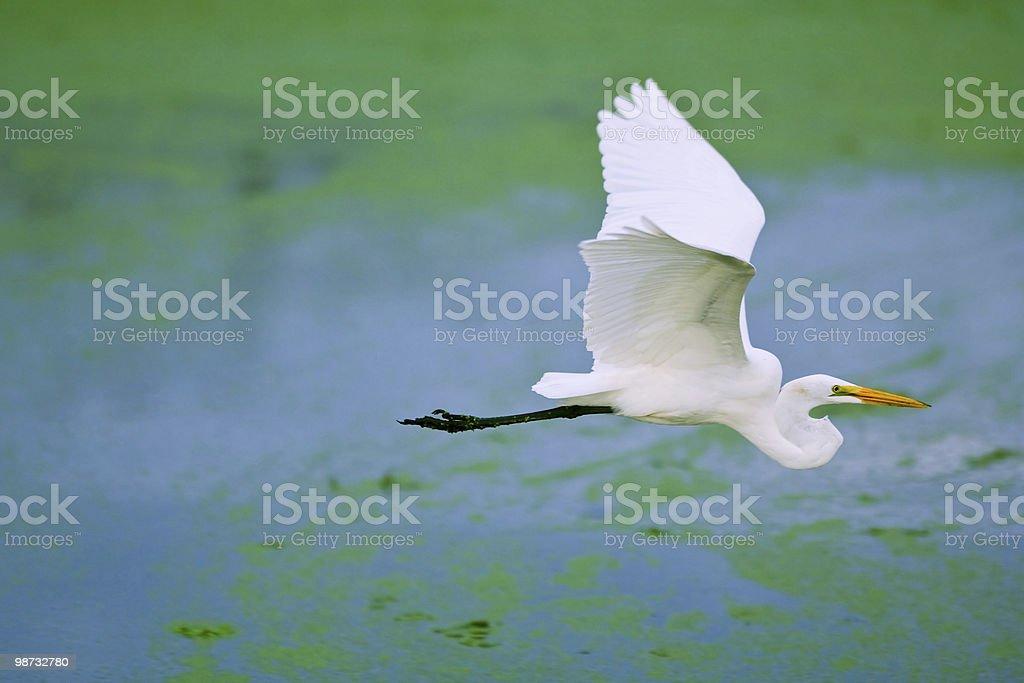 great white egret takes flight in florida wetland 免版稅 stock photo