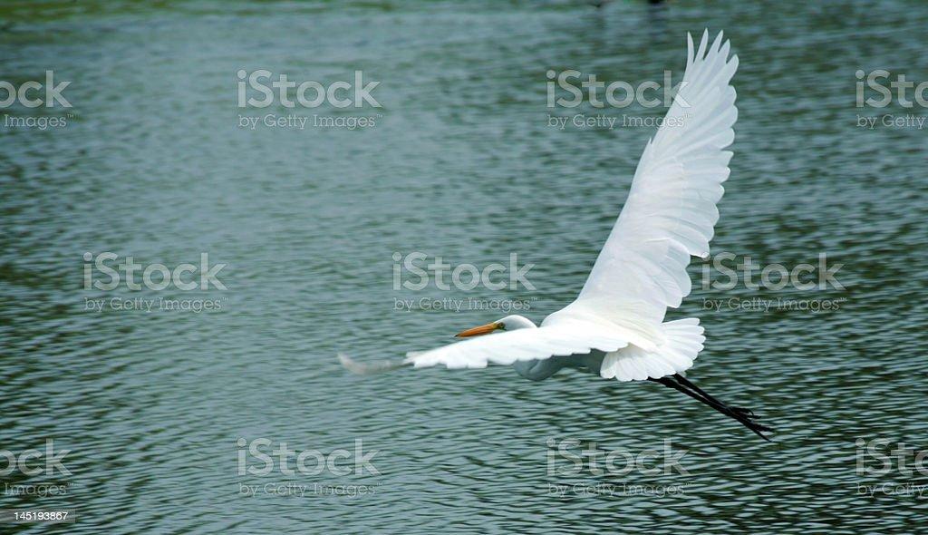 Great white egret takes flight stock photo
