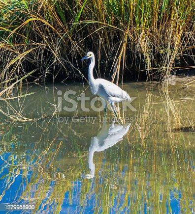Great white egret wading in marsh water