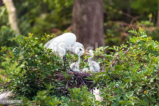 Great White Egret with Baby Chicks in Shingle Creek Preserve in Kissimmee, Florida where Birders and Tourists enjoy the eco-tourism opportunities found there on a year-round basis.