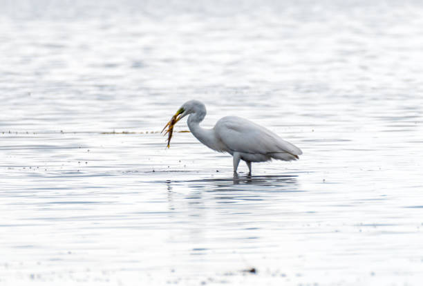 Great White Egret With Fish in a Lake in Latvia - foto stock