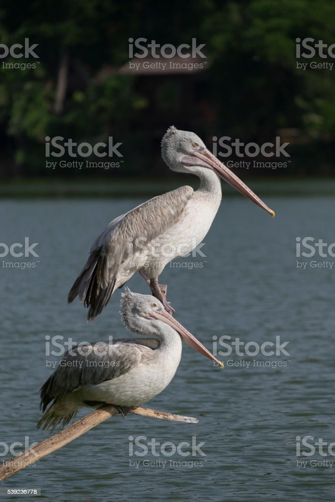 Great white feather two Pelican catches branch in the pond royalty-free stock photo